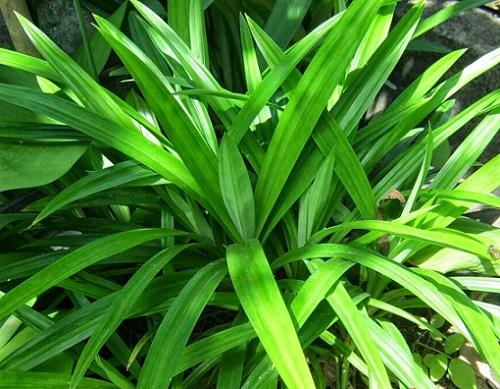 hương liệu dùng trong ngành thực phẩm hương lá dứa