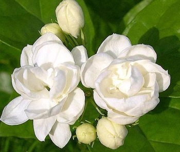 hương liệu thực phẩm hương hoa nhài