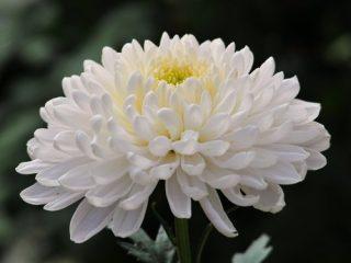 Hương hoa cúc