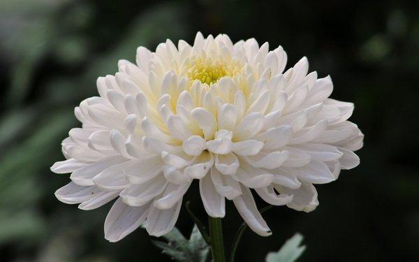 Hương liệu thực phẩm hương hoa cúc